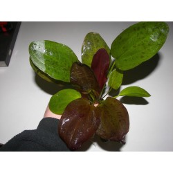 Echinodorus mix
