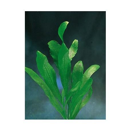 Aponogeton henkelianus bulbe jm distribution - Plante a bulbe liste ...