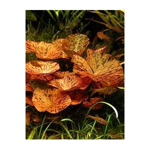 Plante - Bulbes