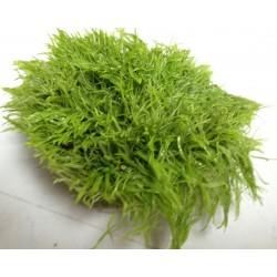 Utricularia graminifolia tapis 5 x 5 cm