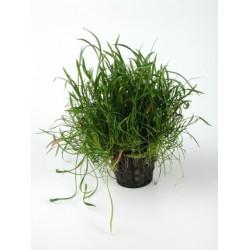 lileopsis pot 5cm