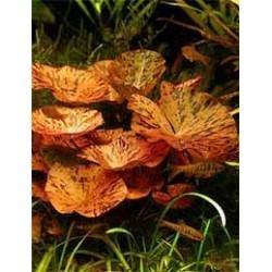 Nynphea red rubra (bulbe)