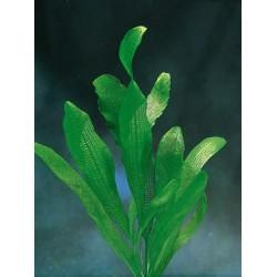 Aponogeton Henkelianus bulbe